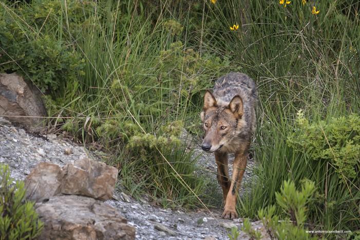 In compagnia dei lupi: intervista al fotografo naturalista Antonio Iannibelli