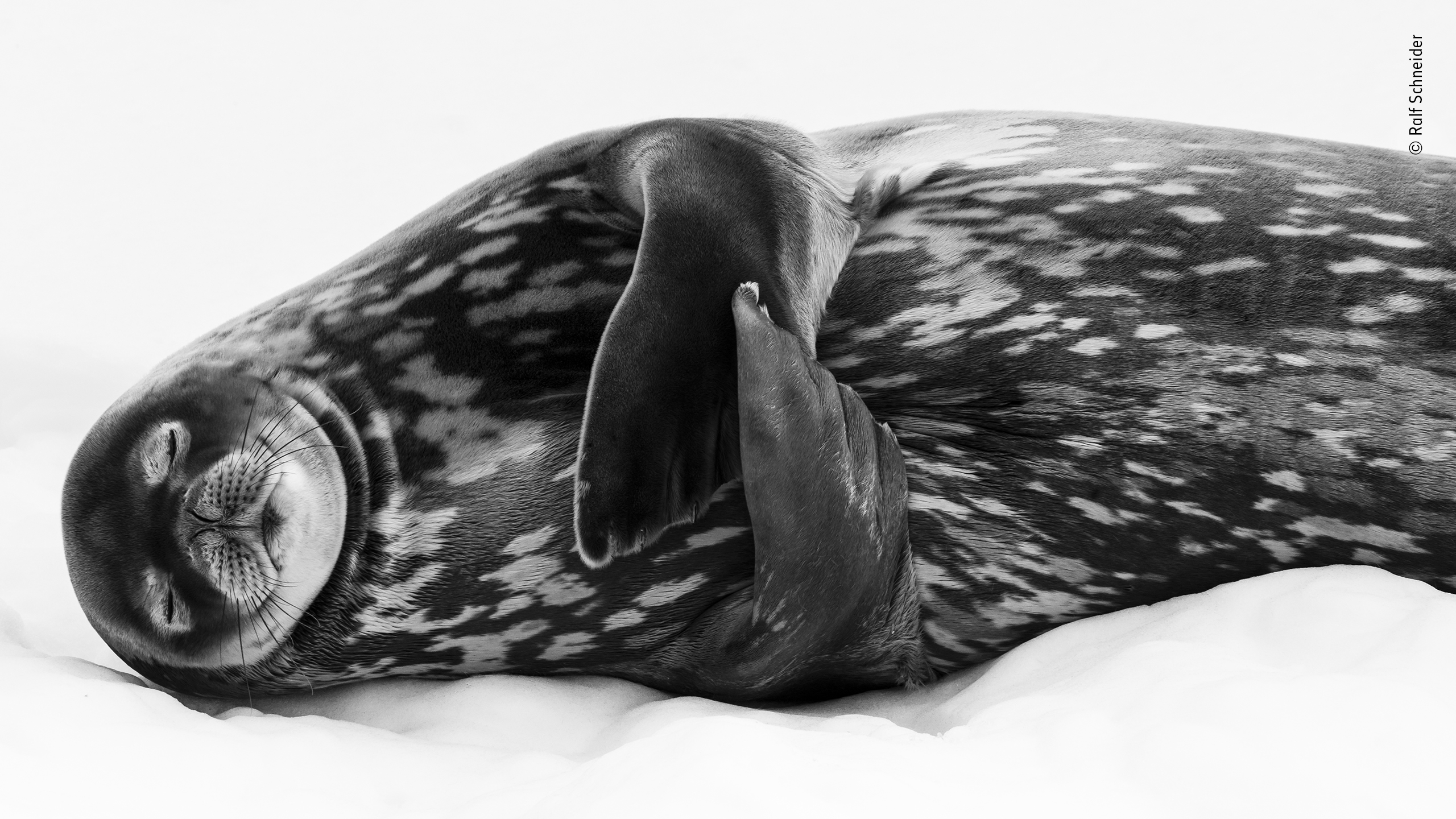 Sleeping like a Weddell by Ralf Schneider, Highly Commended 2019, Black and White