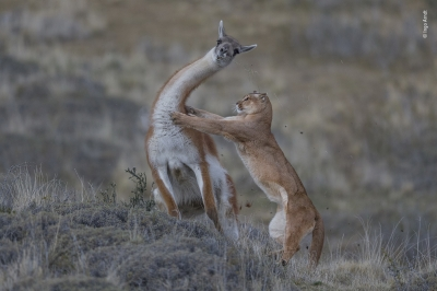 The equal match by Ingo Arndt, Germany Joint Winner 2019, Behaviour: Mammals