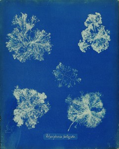 Anna Atkins Photographs of British Algae