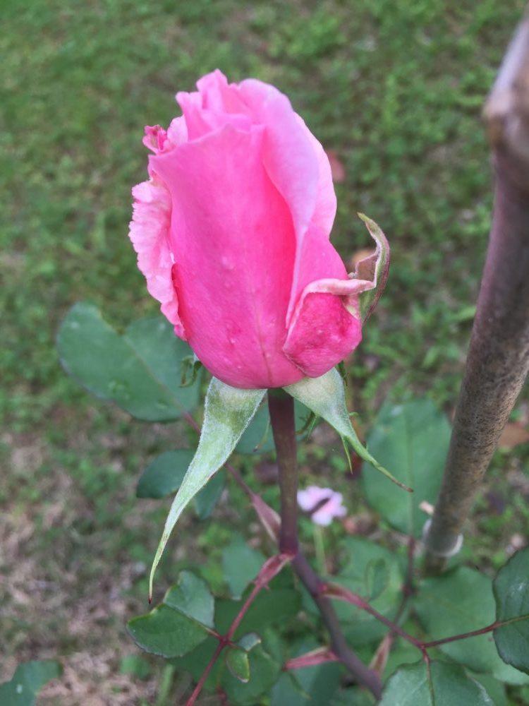 Abiby estratti dei petali di rosa