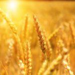 proverbi sul grano mywhere