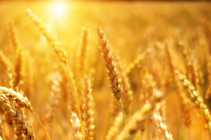 Le spighe d'oro di luglio: ecco 23 proverbi sul grano tutti italiani