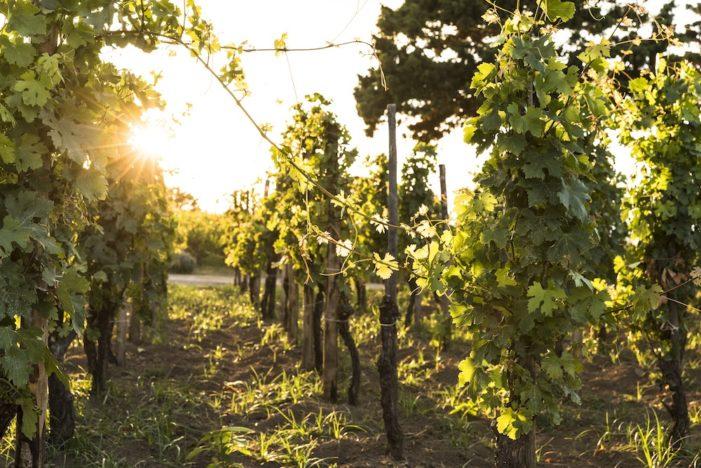 Torna il Malvasia Day delle Lipari: la festa della viticoltura eroica